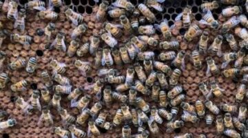 A close up photo of some bees.