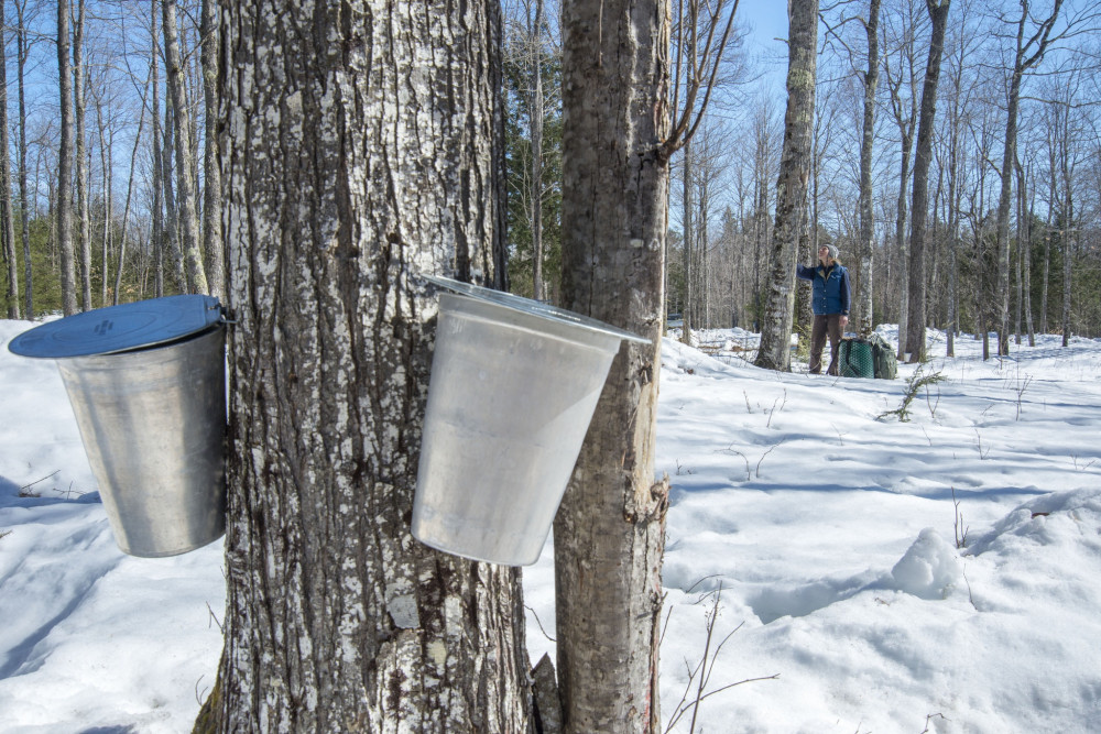 Maple Taps in the Woods - Sweet Spot